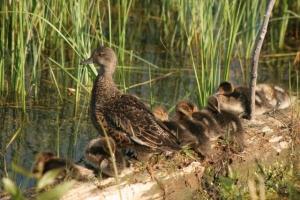 Grand Teton Ducks